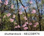 Pink Wild Azalea Blossoms In...