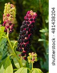 Small photo of Amerikanische Kermesbeere / American Pokeweed seed stand, seed had, black fruits (Phytolacca americana)