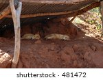 Dingos Sleeping In The Midday...