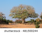 Large African Wild Fig Tree ...