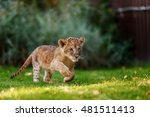 Stock photo young lion cub in the green grass on a sunny day 481511413