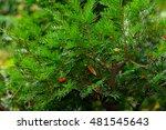 taxus baccata l.  armenia | Shutterstock . vector #481545643