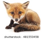 Little Fox Isolated On A White...