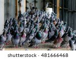 Pigeons Homing In A Davecote