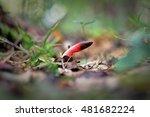 Mutinus Caninus  Dog Stinkhorn