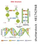 dna structure  nucleotide ... | Shutterstock .eps vector #481742968