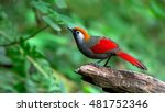 Red Tailed Laughingthrush