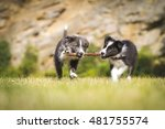 Stock photo border collie puppy play puppy puppy play border collie dog play 481755574