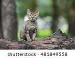 Tabby Devon Rex Kitten Sitting...