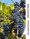 Small photo of Red bunches of grapes in a vineyard in Trentino Alto Adige before harvest, Italy, Europe