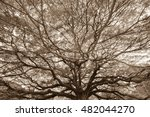 Large Rain Tree In Sepia Tone
