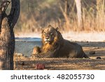 asiatic lion from gir forest... | Shutterstock . vector #482055730