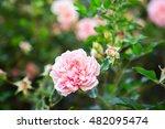 rosebush closeup