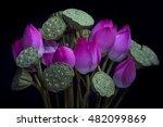 Pink Lotus  Nelumbo Nucifera    ...