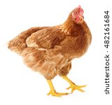 young brown hen isolated on... | Shutterstock . vector #482161684