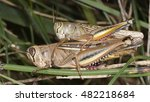Small photo of Mating of Eyprepocnemis plorans, a species of grasshoppers (Acrididae). Its distribution area includes the southern Europe, Africa and the Middle East