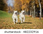 Stock photo two happy golden retriever dogs running in autumn 482232916