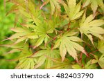 Small photo of Acer japonicum. Background