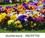 Heartsease  Flower Garden  ...