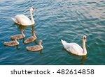 Swan Family  Family Excursion...