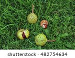 Horse Chestnuts  Conkers  On...