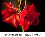 Gorgeous  Exotic Red Amaryllis...