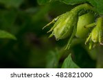 green roma tomatoes ripening on ... | Shutterstock . vector #482821000