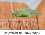 Katydid On Fence