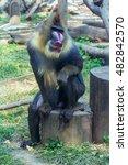 mandrill at zoo | Shutterstock . vector #482842570
