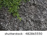 Small photo of tetragonia (Aizoaceae) at a beach on flores, acores islands