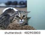 Stock photo cat getting ready to pounce on the fact that she is stalking 482903803