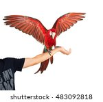 Red Macaw Holding On Hand...