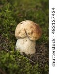 Small photo of A very delicious and salubrious mushroom. Boletus edulis in the forest in autumn day. Porcini on moss.