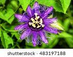 Purple Passion Flower ...