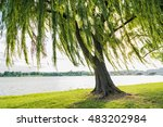 Willow Tree Swaying In Wind By...