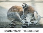 lemur couple sitting on a big... | Shutterstock . vector #483333850