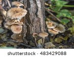Honey Mushrooms Growing From A...