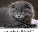 Small photo of Portrait of a cute kitten. Grey, lop-eared cat with huge yellow eyes. Fluffy cat on the background of wooden wall. Animal afraid, afraid