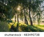 Birch Grove At Dawn