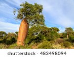 baobab tree with fruit and... | Shutterstock . vector #483498094