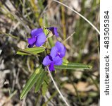 Small photo of Bright purple Holly leaved Hovea chorizemifolia West Australia native wildflower sometimes called Purple pea flowering in early spring in Crooked Brook national park, Dardanup, Western Australia.