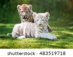 Two Adorable Tigers Cubs...