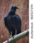 Small photo of American black vulture (Coragyps atratus). Wildlife animal.