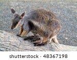 Australia  Black Footed Rock...