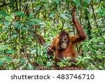 Cub Of Central Bornean...