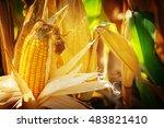 Corn  Corn On The Cob  Corn...