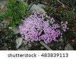 an alpine plant called moss... | Shutterstock . vector #483839113