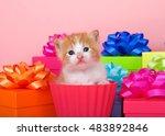 Orange And White Tabby Kitten...