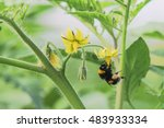 Bumblebee Pollination Making A...