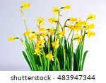 yellow daffodils with  stems ... | Shutterstock . vector #483947344